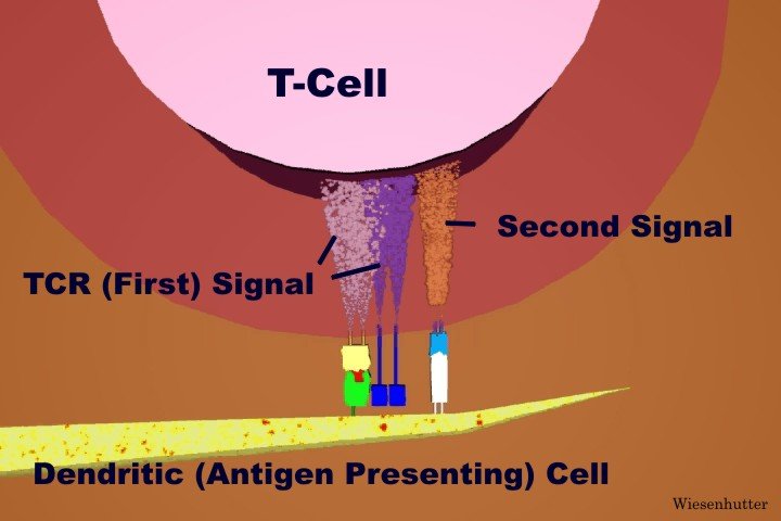 The Cytotoxic T-Cell Response, Cloned Armed T-Cells, First ...